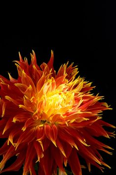 "Dahlia flower ""on fire""  © Tatiana Boyle.  Dahlias are not hardy here in Zone 6b but you can winter them pretty easily, with little work, in a garage or basement."