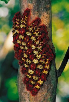 Stinging flag moth caterpillars, Manú National Park, Peru.
