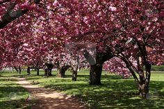 Cherry Blossom Tree - I love these