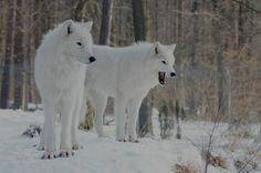 Weiße Wölfe im Bayrischen Wald