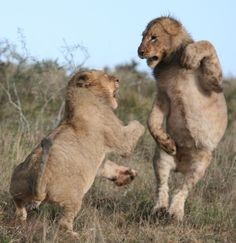 Lion cubs play fighting, Kwandwe Game Reserve