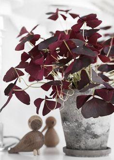 Une plante couleur Marsala pour donner du caractère à la déco, ou à nos bijoux