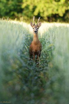 Roe deer / Corzo (Capreolus capreolus) Tunnel by Julia Kauer on 500px