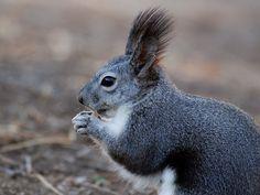 Eichhörnchen, Tier, Nahaufnahme, Makro, Natur