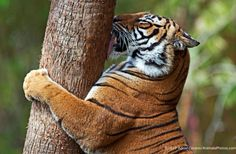 Tiger tree