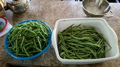 First harvest of Bush beans.