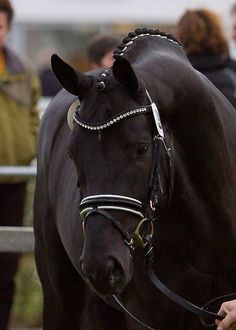 A Hanoverian is a warmblood horse breed originating in Germany, which is often seen in the Olympic Games and other competitive English riding styles, and have won gold medals in all three equestrian Olympic competitions.