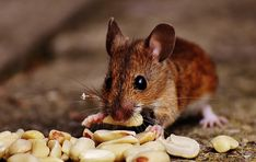 De zintuigen van muizen zijn zeer goed ontwikkeld. Net als ratten beschikken muizen over relatief slechte ogen en zijn daarnaast ook nog eens kleurenblind. Ze zijn dus sterk afhankelijk van hun reukvermogen, hun smaak, hun