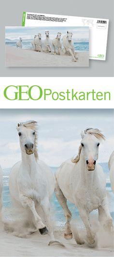 Große Seepferdchen? – Diese Karte hier online kaufen: http://bkurl.de/pkshop-211415 – Im Süden Frankreichs gibt es noch Pferde, die leben ohne Zaum, Zügel und Zäune. Weiß sind sie, wild und wagemutig. Sie leben in der Camargue, einer völlig flachen Region, die direkt an das Mittelmeer grenzt. Sogar an das lokale Strandleben scheinen sie bestens angepasst. Art.-Nr.: 211415 Große Seepferdchen? | Foto: © Cultura RM/Masterfile | Text: Michael Stührenberg