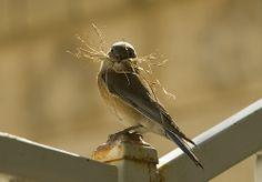♕ female Blue bird making a nest