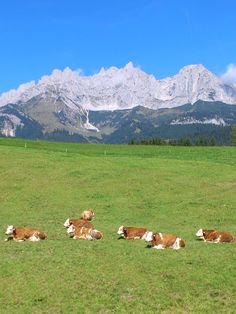 happy cows in fall at the foot of the #Wilder Kaiser mountain range in the village #Going - Austria, photo by Hannes Wimmer/mounthagen on Pinterest