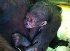 Adorable Zoo Babies You Can Meet This Spring: Baby Gorilla at the Jacksonville Zoo | About.com Family Vacations #zoobabies