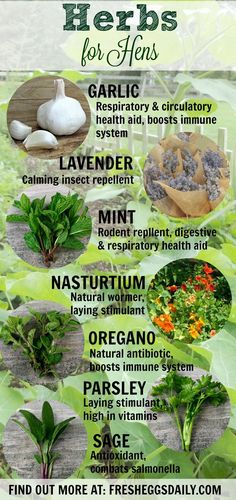 7 Herbs for better hen health. #herbsforhens Learn more on the blog: http://www.fresheggsdaily.com/2014/02/common-herbs-and-their-health-benefits.html