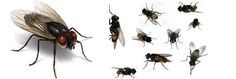 Houseflies can spread bacteria and diseases like food poisoning and dysentery. Some kinds of biting flies can transmit illnesses through the spread of human blood. Food Poisoning, Environmental Health, Blood, Foodborne Illness