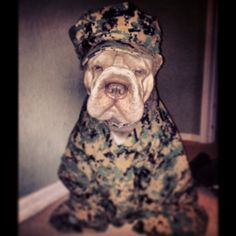 Duffy the Chinese Shar pei loves to be a USMC!