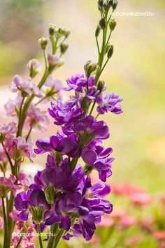 Annual; Stock /Matthiola incana, we sew seeds of this old cottage plant in our gardens at Rose cottages and gardens, Britain