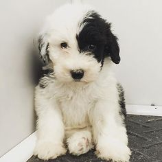 Welcome to Feathers and Fleece Farm home of the Sheepadoodle, Whoodle and Schnoodle. Feathers And Fleece Farm is the creator of the Newfkom breed, the number Cute Dogs And Puppies, Baby Puppies, I Love Dogs, Doggies, Puppies Tips, Sheep Dog Puppy, Sheepadoodle Puppy, Cute Baby Animals, Animals And Pets