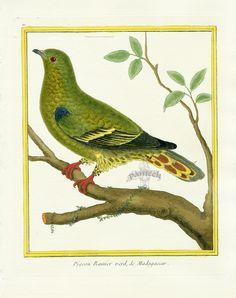 Martinet c1770's: Pigeon Ramier vert de Madagascar. Madagascar Green-pigeon