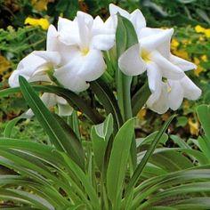 ÖKENSTJÄRNA i gruppen Krukväxter / Kaktusar och suckulenter hos Impecta Fröhandel (326)
