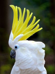 Parrot - Yellow-Crested Cockatoo