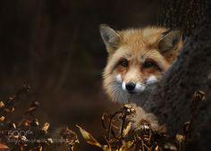 http://ift.tt/1K6283m #animals Red Fox by ikord http://ift.tt/1VLXqbV #pierceandbiersadorf