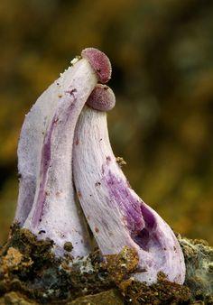 Superb Nature - blooms-and-shrooms: Laccaria amethystina by. Mushroom Art, Mushroom Fungi, Wild Mushrooms, Stuffed Mushrooms, Slime Mould, Plant Fungus, Unusual Plants, Natural World, Amazing Nature