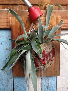 How to water a staghorn fern - learn everything you need to know on the care blog!