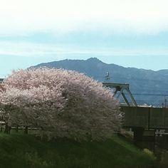 桂川と天神川の背割り愛宕山と新幹線