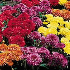 I love Mums, they're easy to grow, they are a very forgiving, they multiply and give good bursts of color...Love'em!