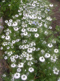 "white love-in-a-mist (nigella damascena) Has an ""in a dream"" feel about it"