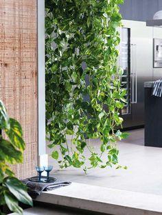 plantas-poto-colgante