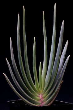 Fan Aloe is more of a shrub or tree than the smaller ones that are often grown in pots indoors, and it can grow to a height of 15 feet. (Photo: Monica Almeida/The New York Times)