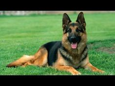 VIDEO: Tips on Training Your German Shepherd! - We LOVE German Shepherds!