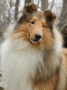 Sable Rough Collie.
