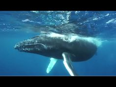 How Whales Change Climate So the Japanese are adding to climate change by killing all these whales !!! Keith.