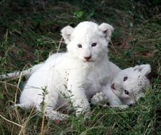 Rare white lion cubs born at Parque Loro Zoo in Puebla, Mexico on July 18. Their species no longer exists in the wild, so if you want to be able to claim that you've seen the cutest thing in the whole world, a trip to Puebla is a must. (from travelandleisure.com)