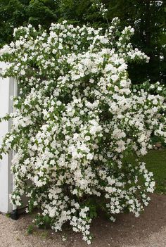 Shrubs Philadelphus 'Manteau d'Hermine' bush shrub with double white flowers - Bushes And Shrubs, Garden Shrubs, Shade Garden, Tall Shrubs, White Flowering Shrubs, Shrubs With White Flowers, White Garden Flowers, Cut Flowers, Beautiful Gardens