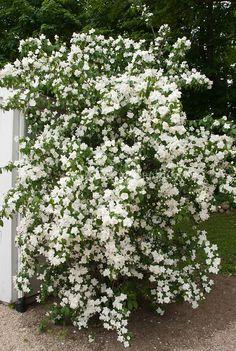 622 Best Bushes And Shrubs Images Bushes Shrubs Garden Garden