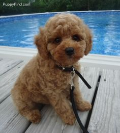 Toy Poodle Pictures (kc6d23u2k8m)