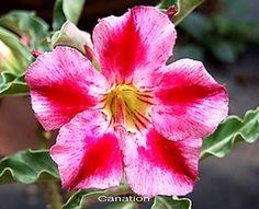 Adenium Desert Rose Carnation