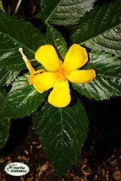 Turnera ulmifolia Plant Leaves, Plants, Winter Time, Tropical, Plant, Planets