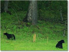 Smokey Mountain bears