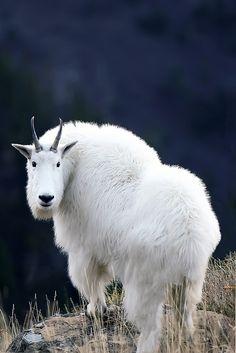 Mountain goat near Garden Wall trail by Jeremiah Thompson, via Flickr; Glacier National Park, Montana
