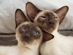 #siamese Leroy and Benny