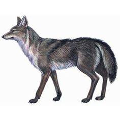 Койот — зверь. Описание койота с картинками