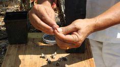 How to Grow Moringa: Planting the Seed