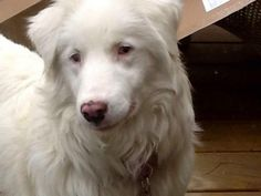 Crystal is an adoptable Australian Shepherd Dog in Grove City, OH Crystal is an absolutely stunning deaf double merle Aussie.  She is a sweet girl, but still a a ... ...Read more about me on @petfinder.com