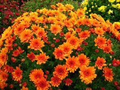 Mum 'Sunset Orange'