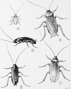 I live in Texas so I'll say it..... A brief overview of natural cockroach repellents