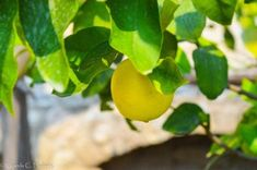 Growing lemon in Limone sul Garda (Italy)